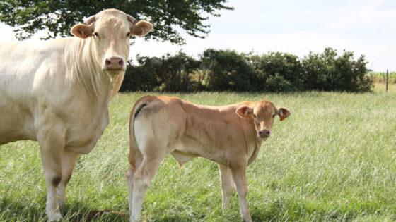 mère et veau dans le pré